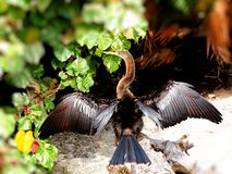 Anhinga bird Stock Photos