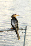 Anhinga Bird (female) Stock Photo