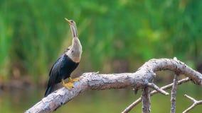 Anhinga bird royalty free stock photo