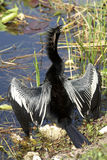 anhinga bird male Στοκ φωτογραφία με δικαίωμα ελεύθερης χρήσης