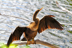 Anhinga Bird. Portrait of Anhinga taken in the Florida Everglades. The Anhinga (Anhinga anhinga), is a water bird of the warmer parts of the Americas. .It is a Stock Image