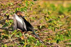 Anhinga Bird Preening Stock Photo