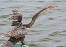 Anhinga Bird standing and screaming by the water. In Naples,FL stock photography