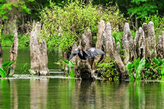 Anhinga Bird in Wakulla. Anhinga bird drying off it's wings in the Wakulla State Park River, Florida Royalty Free Stock Photography