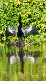 Anhinga Royalty Free Stock Photography
