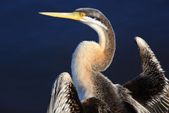 Anhinga, Black Swan Lake in Perth, Australia. Closeup profile of an anhinga with Black Swan Lake in Perth, Australia Stock Photos