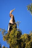 Anhinga and Blue Sky Royalty Free Stock Photography