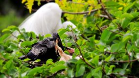 Anhinga on branch feeding chicks in nest. Male Anhinga standing on a branch and feeding his babies in the nest, in a tree of Wakodahatchee Wetlands, in Delray Stock Images