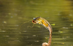 Anhinga bird with cat fish (catch) Stock Images