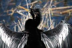 Anhinga 3. Anhinga Central Florida wildlife refuge Royalty Free Stock Photography