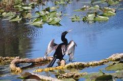 Anhinga che asciuga le sue piume, St Petersburg Florida Immagine Stock Libera da Diritti