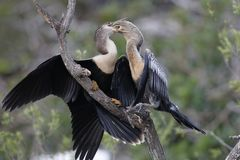 Anhinga chick extracting a partially digested fish from its moth. Er - Venice, Florida Royalty Free Stock Photo