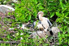 Anhinga chick in nest in wetlands Royalty Free Stock Photography