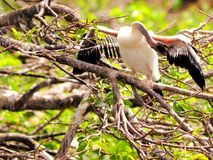Anhinga chick testing wings Royalty Free Stock Images