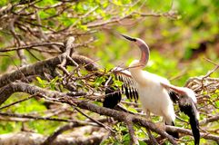 Anhinga chick in wetlands Royalty Free Stock Photos