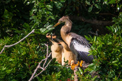 Anhinga Chicks. Adult Female Anhinga Attending Her Two Young Chicks On Nest Hidden In Brush Stock Photography