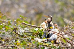 Anhinga with chicks in nest Royalty Free Stock Photo