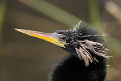 Anhinga close-up Stock Photos