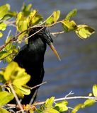 Anhinga close-up. Close-up of Anhinga perched in wetland shrubbery Royalty Free Stock Photography
