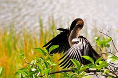 Anhinga (cormorant-like) preening in wetlands Royalty Free Stock Photo