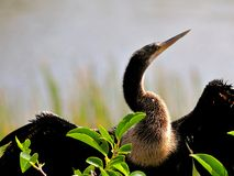 Anhinga (cormorant-like) in wetlands Stock Photo