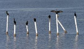 Anhinga and Cormorants sitting on posts Stock Photo