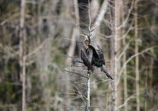 Anhinga Darter, εθνικό καταφύγιο άγριας πανίδας ελών Okefenokee Στοκ Εικόνα