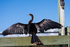 Anhinga Darter με τα φτερά που διαδίδονται Στοκ φωτογραφίες με δικαίωμα ελεύθερης χρήσης