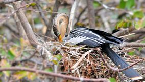 Anhinga (Darter) Royalty Free Stock Image