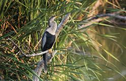 Anhinga darter bird, Pickney Island Wildlife Refuge, South Carolina. Anhinga on Pickney Island National Wildlife Refuge near Hilton Head Island, South Carolina royalty free stock image