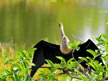 Anhinga or Darter in wetlands Royalty Free Stock Photos