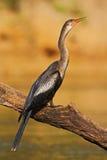 Anhinga dell'uccello acquatico nell'habitat della natura del fiume Uccello acquatico da Costa Rica Anhinga nell'acqua Uccello con immagini stock