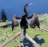 Anhinga, der seine Flügel trocknet stockfoto