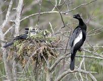 Anhinga dichtbij een nest royalty-vrije stock afbeeldingen
