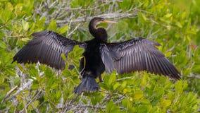 Anhinga die zijn vleugel drogen Royalty-vrije Stock Foto