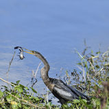 Anhinga Downing A Fish Royalty Free Stock Photography