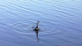 Anhinga downing a fish stock footage