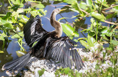 Anhinga dries its wings Stock Photos