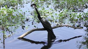 Anhinga drops fish in the pond stock footage