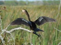 Anhinga drying Royalty Free Stock Photo