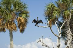 Anhinga Drying Royalty Free Stock Image