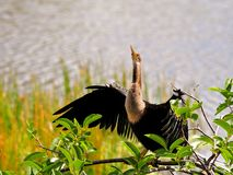 Anhinga drying her feathers in wetlands Stock Photo