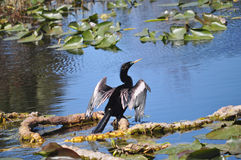 Anhinga Drying its Feathers, St Petersburg Florida. Anhingas are fish eating divers that live near lakes and rivers. They do not have oil glands to repel water Royalty Free Stock Image