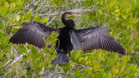 Anhinga drying its wing Royalty Free Stock Photo