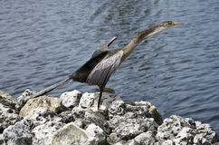 Anhinga drying its wings. Stock Images