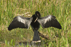 Anhinga Drying its Wings Royalty Free Stock Photos