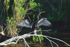 An Anhinga drying its wings in the Bayou Stock Photography