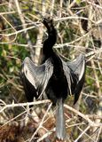 Anhinga drying out in the sun royalty free stock photos
