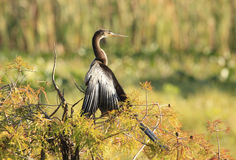 Anhinga Drying It's Wings in a Fall Colored Bald Cypress Tree Royalty Free Stock Photography
