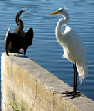 Anhinga and egret  Royalty Free Stock Photo